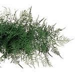 plumosa fern garland