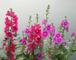 hollyhock flowers hollyhock flowers hollyhock photos trees and flowers pictures