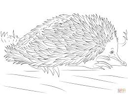 cute short beaked echidna coloring page free printable coloring