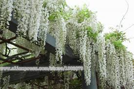 10pcs white wisteria tree seeds potted flower seeds