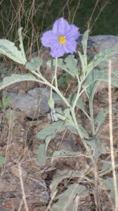 beautiful purple desert flower srer az ms moore u0027s arizona