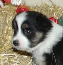 australian shepherd for sale california california mini australian shepherd puppies for sale mini aust