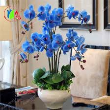 blue orchids for sale orchid bonsai blue butterfly orchid seeds beautiful