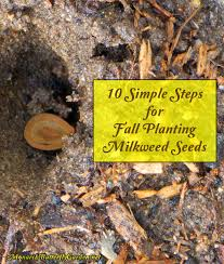fall planting milkweed seeds 10 simple steps planting seeds