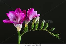 freesia flower freesia flower stock photos freesia flower stock images alamy