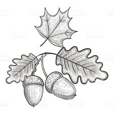 White Oak Leaf Sketch Of An Oak Leaf And Acorn Stock Vector Art 639174610 Istock