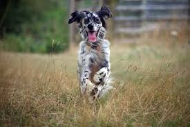 types of setter dog breeds english setter puppies dog breed information pictures