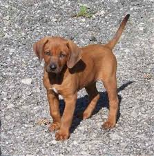 bluetick coonhound lab mix puppies for sale redbone retriever redbone retrievers golden retriever x
