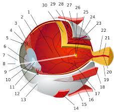 human eye wikipedia