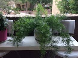 Easy To Care For Indoor Plants How To Care For An Asparagus Fern 12 Steps With Pictures