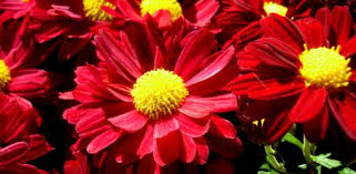 Chrysanthemum How To Grow Chrysanthemums In Your Garden Today U0027s Homeowner