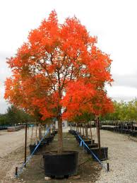Fall Garden Plants Texas - fall is the time to plant new trees chinese pistache in november
