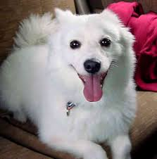 american eskimo dog lab mix american eskimo lab mix odkazodvas