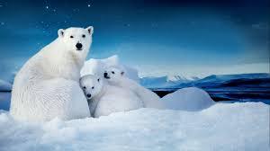 white polar bear cubs small desktop wallpaper download