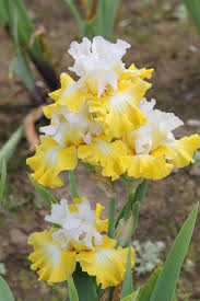 Iris by Best 25 Bearded Iris Ideas On Pinterest Iris Iris Flowers And