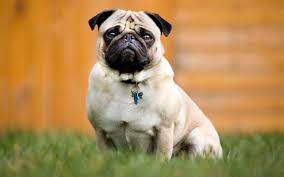 it u0027s up to those with power to stop pugs suffering
