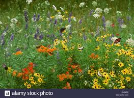 native scottish plants country meadow flower garden with native plants blooming and many