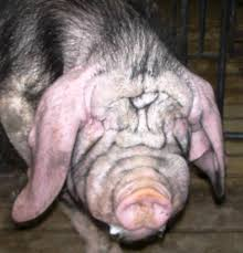ugliest vote for the ugliest pig in the u201chogs are beautiful u201d photo contest