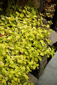 Learn More About Full Sun by This Bright Low Growing Shrub Will Be The Shining Star In Your