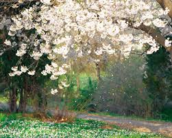 flowers flower falling japanese blossoms tree spring petals