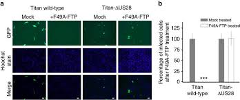 targeting the latent cytomegalovirus reservoir with an antiviral
