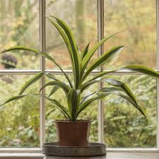 buy dragon plant dracaena fragrans u0027 deremensis group lemon lime u0027