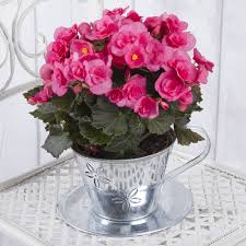 begonia in zinc teacup house plants bunches co uk