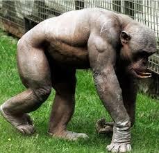 Funny Gorilla Meme - funny gorilla like humans bajiroo com
