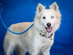 american eskimo dog virginia american eskimo dogs in shelters southern california case tracking