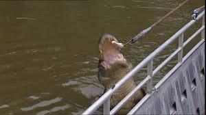 Mississippi wild swimming images Alligator mississippi delta usa sd stock video 374 748 681 jpg