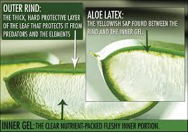 aloe vera plant facts the plant of immortality aloe vera life with no filter