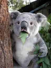Suprised Meme - surprised koala meme generator imgflip