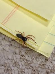 these kinds of spiders keep appearing in my basement what kind of