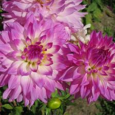 planted summer blooming bulbs american