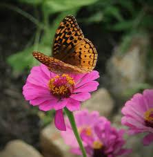 native plants that attract butterflies butterfly gardening u2013 home garden joy