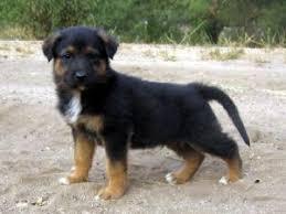 australian shepherd x golden retriever german shepherd dog puppies for sale german shepherd australian