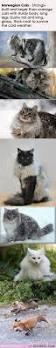 best 20 forest cat ideas on pinterest norwegian forest cat