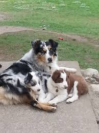 australian shepherd or border collie casa de lobo dogs casadelobo chevy australian shepherd border