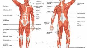 muscular system skeletal muscle tissue skeletal muscle physiology