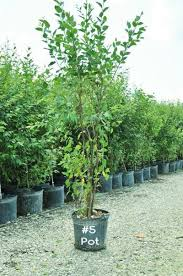 ornamental birch dura heat tree deciduous fast growing trees