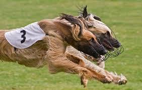 afghan hound racing uk dogs u2013 synergon afghan hounds
