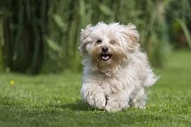 30 best small dog breeds list of top small dogs with pictures