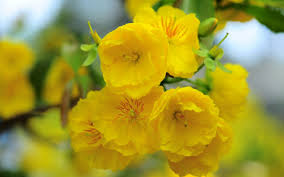 yellow flowers beautiful yellow flowers hd wallpapers
