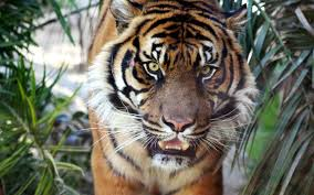 animals archives simply wallpaper just choose and download high definiton nature animals stock photo tigers wall murals apple