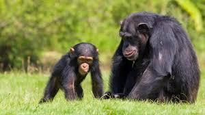 chimpanzee with baby2 ngsversion 1411161255701 jpg
