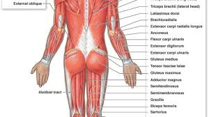 human trunk muscles labelled diagrams label muscles worksheet