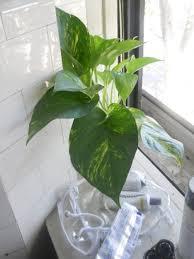 bathroom design marvelous impatiens plant small house plants low