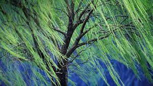 a weeping willow tree rolf nussbaumer photography alamy 1