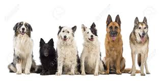 australian shepherd or border collie australian shepherd belgian shepherd groenendael border collie