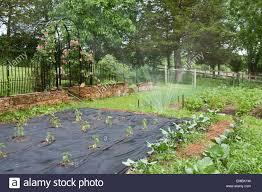 Mulching Vegetable Garden by Vegetable Garden Being Watered With Freshly Planted Sweet Peppers
